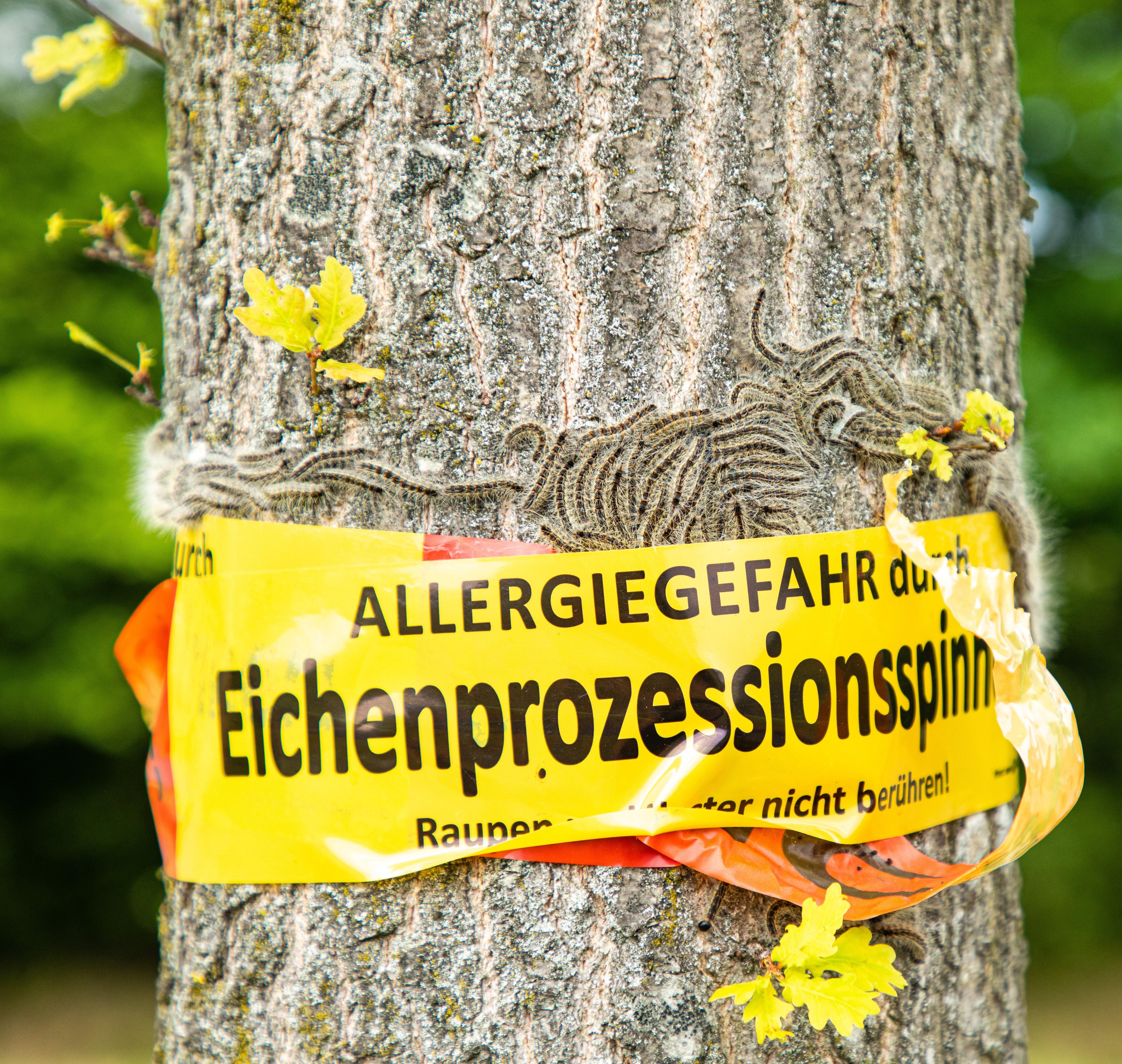 Gefahr durch Eichenprozessionsspinner